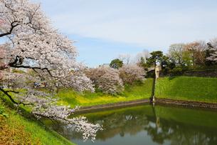 千鳥ヶ淵、満開の桜と菜の花の写真素材 [FYI00212255]
