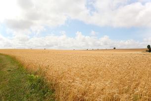 フランスの田舎の麦畑の素材 [FYI00212284]