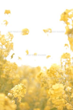 浮き立つ 菜の花の素材 [FYI00212700]