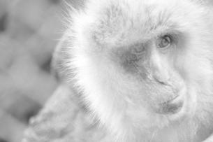 日本猿 凛との素材 [FYI00212705]