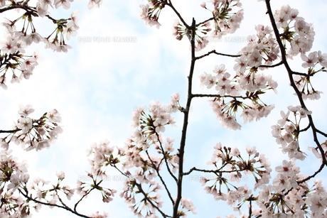 青空と桜の素材 [FYI00212706]