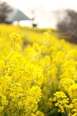黄色い菜の花畑の素材 [FYI00212713]