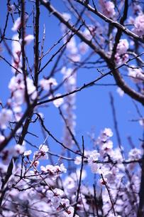 青空と桜の素材 [FYI00212718]