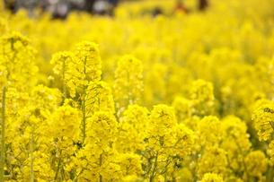 鮮やか 菜の花畑の素材 [FYI00212722]
