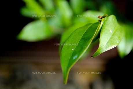 緑の葉の素材 [FYI00212788]