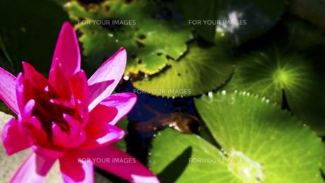 蓮の花の素材 [FYI00213046]