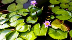 ダンブッラ石窟寺院の蓮の花の写真素材 [FYI00213052]