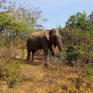 ヤーラ国立公園のスリランカ・ゾウの写真素材 [FYI00213065]