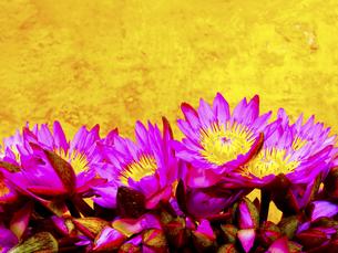 色鮮やかな蓮の花の写真素材 [FYI00213068]