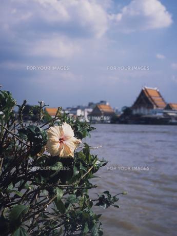川岸の花の写真素材 [FYI00213154]