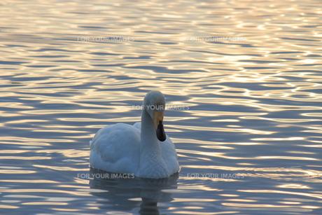 夕暮れの白鳥の写真素材 [FYI00213174]