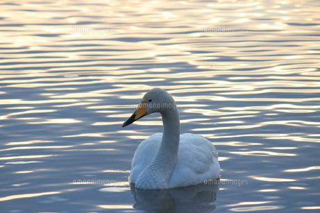 夕暮れの白鳥の写真素材 [FYI00213175]