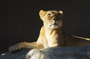 ライオンの写真素材 [FYI00213204]