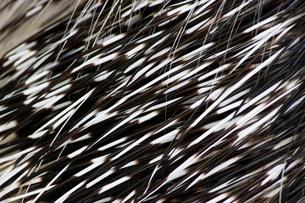 ヤマアラシの針の写真素材 [FYI00213233]