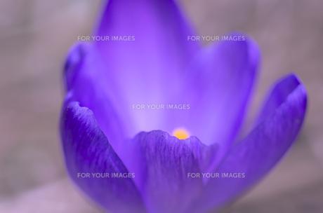 クロッカスの花びらに黄色く浮き出た花心の写真素材 [FYI00213321]