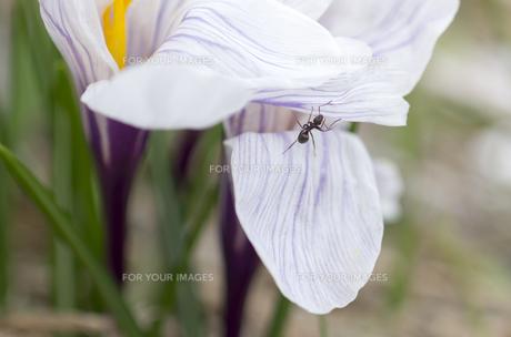 北海道礼文島 アリと家の前に咲いた白い花びらのクロッカスの写真素材 [FYI00213323]