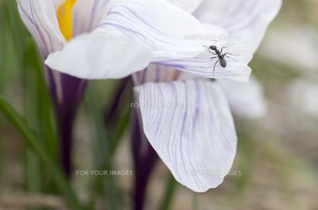 北海道礼文島 アリと家の前に咲いた白い花びらのクロッカスの写真素材 [FYI00213338]
