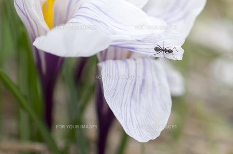 北海道礼文島 アリと家の前に咲いた白い花びらのクロッカスの写真素材 [FYI00213344]