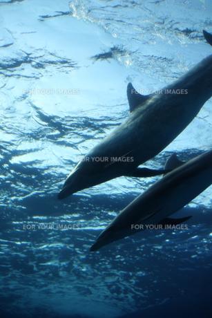 2頭のイルカの写真素材 [FYI00213357]