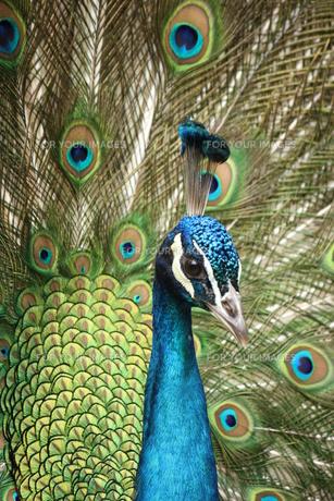 羽を広げた孔雀の写真素材 [FYI00213362]