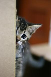 覗き見する子猫の素材 [FYI00213372]