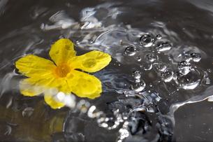 水の動きと黄色の花の写真素材 [FYI00213374]