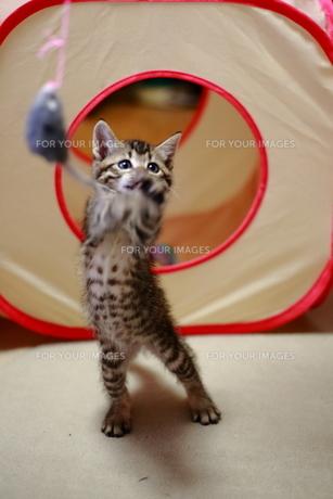 おもちゃで遊ぶ子猫の素材 [FYI00213375]