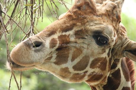 キリンの顔の写真素材 [FYI00213378]