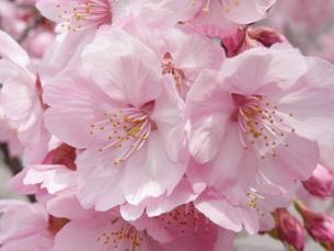 光陽桜、満開の写真素材 [FYI00213610]