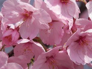 光陽桜のピンクの誘いの写真素材 [FYI00213618]