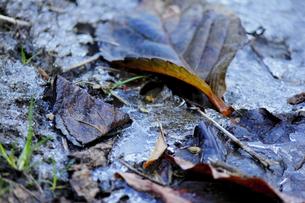 氷と木の葉の写真素材 [FYI00213695]