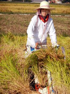稲刈りをする女性の写真素材 [FYI00213711]