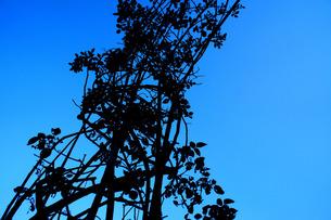 青空の蔦の写真素材 [FYI00213746]