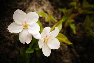 根元の桜の写真素材 [FYI00213754]