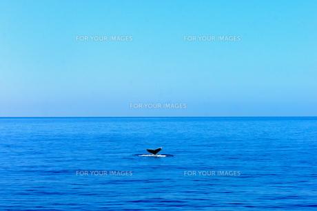 ハワイのクジラの尾の写真素材 [FYI00213775]