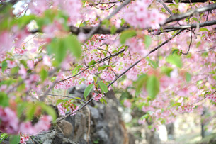 sakuraの写真素材 [FYI00213847]