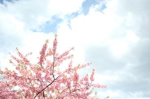 sakuraの写真素材 [FYI00213850]