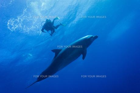 イルカに近づく若い女性の写真素材 [FYI00213921]