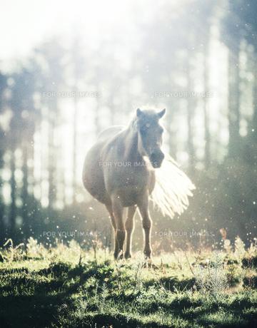 光の中の馬の素材 [FYI00214039]