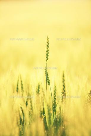 麦の素材 [FYI00214052]