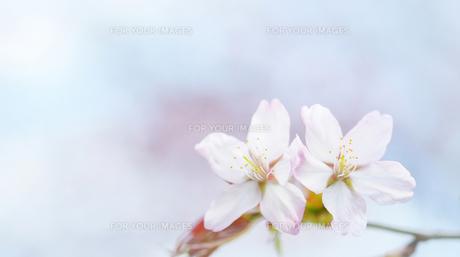 桜の素材 [FYI00214081]