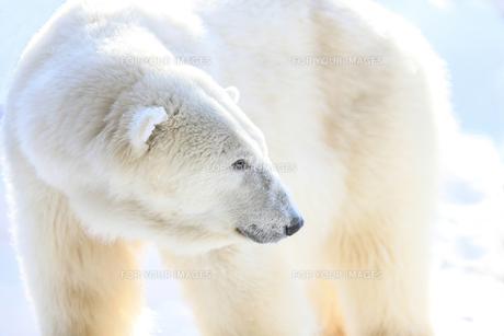 白クマの写真素材 [FYI00214118]