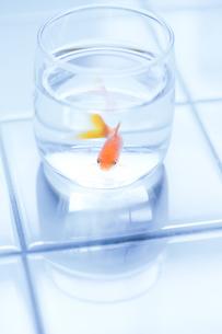 金魚とグラスの写真素材 [FYI00214124]