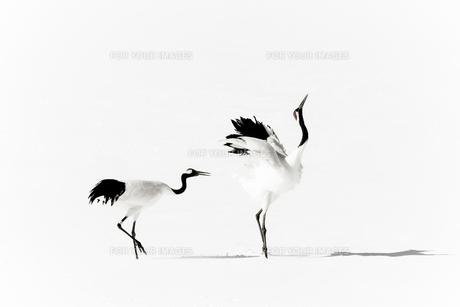 2羽の鶴の写真素材 [FYI00214183]