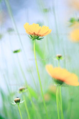 黄色い花の素材 [FYI00214196]