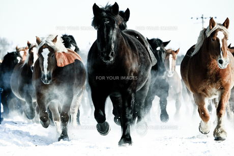 馬の集団の素材 [FYI00214204]