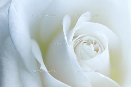白いバラの写真素材 [FYI00214212]