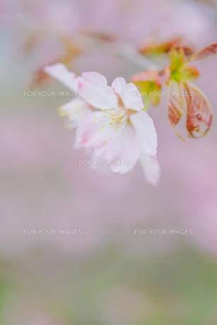 桜の写真素材 [FYI00214285]