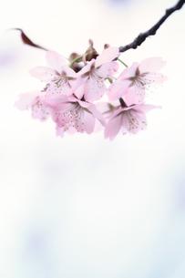 桜の素材 [FYI00214309]