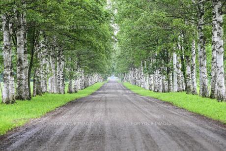 白樺の並木道の写真素材 [FYI00214311]